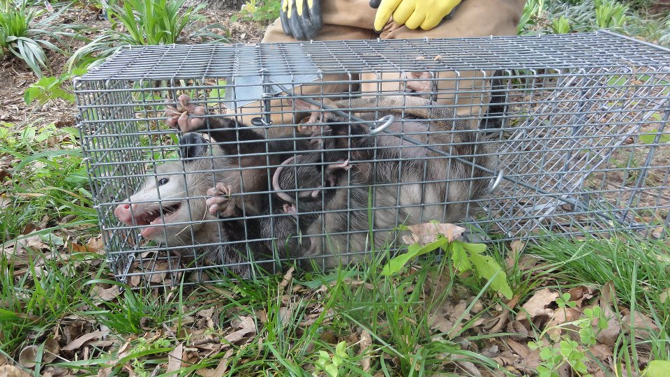 Wildlife Removal Services in Dayton